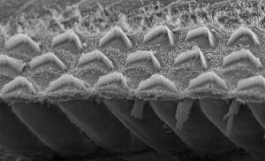 Рисунок_Пучки сенсорных волосков в ухе